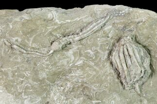 Dizygocrinus sp. & Synbathocrinus sp. - Fossils For Sale - #148983