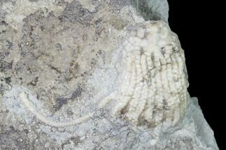 Aorocrinus iola - Fossils For Sale - #149028