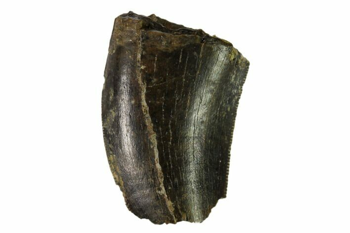 ".95"" Partial, Serrated Tyrannosaur Tooth - Judith River Formation"
