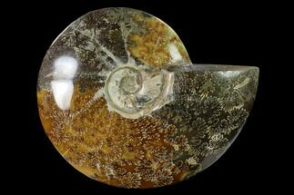 "Buy 7.6""  Polished, Agatized Ammonite (Cleoniceras) - Madagascar - #149167"