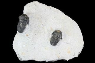 Gerastos sp. - Fossils For Sale - #146283