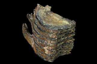 "5.2"" Partial Woolly Mammoth Molar - North Sea Deposits For Sale, #149876"