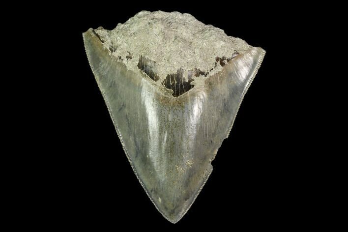 "Bargain, 3.92"" Serrated Megalodon Tooth - Indonesia"