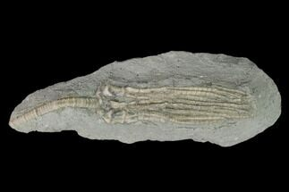 Abrotocrinus unicus - Fossils For Sale - #150417