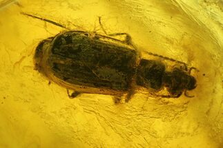 Buy Fossil Fly (Diptera) and Beetle (Coleoptera) In Baltic Amber - #150745