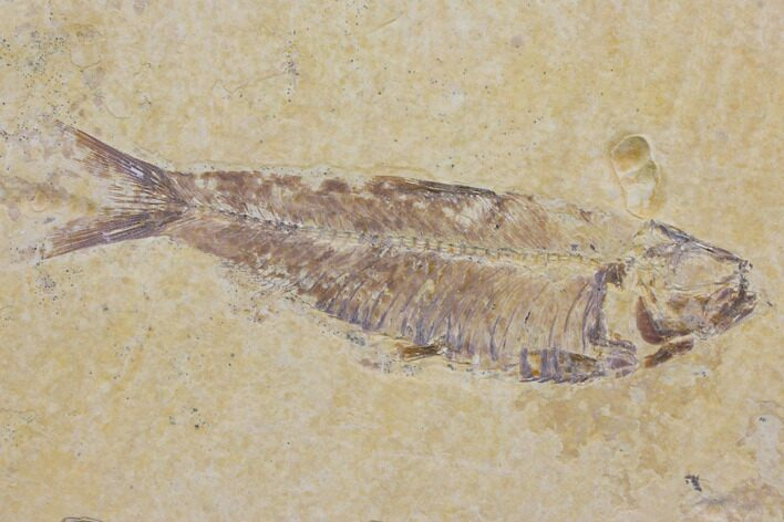 "4.2"" Fossil Fish (Knightia) - Wyoming"