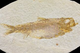 "4.5"" Fossil Fish (Knightia) - Wyoming For Sale, #150638"