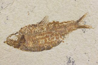 "4.6"" Fossil Fish (Knightia) - Wyoming For Sale, #150671"