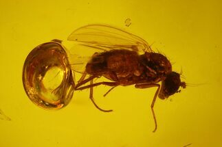 Buy Two Fossil Flies (Diptera) In Baltic Amber - #150760