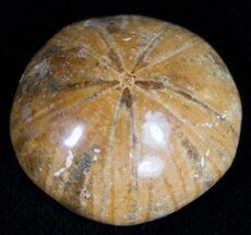 Sand Dollar (Holeclypus) Fossil - Jurassic Aged For Sale, #10301