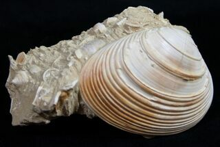 "1.8"" Miocene Aged Clam Fossil - France For Sale, #10325"