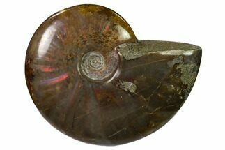 "2.8"" Red Flash Ammonite Fossil - Madagascar For Sale, #151715"