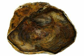 "Buy 6.4"" Petrified Wood Slab - Saddle Mountain, WA - #152227"