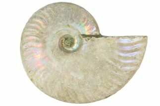 "2 1/2"" Silver Iridescent Ammonite Fossils For Sale, #152543"