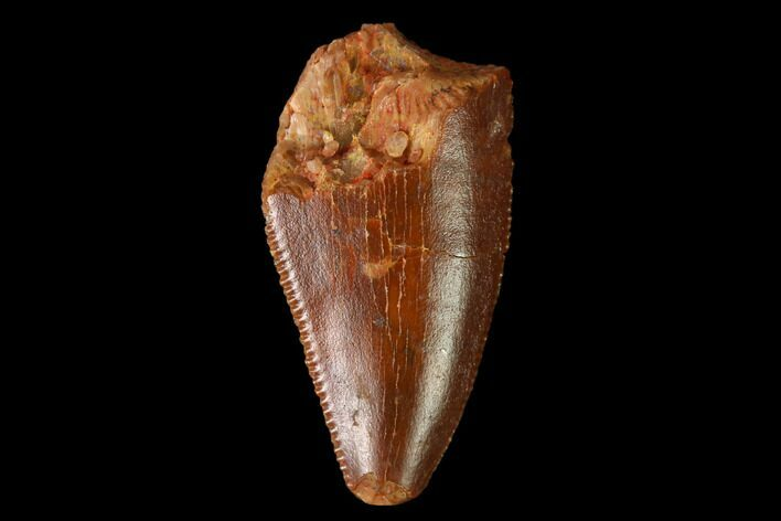 "Bargain, .7"" Raptor Tooth - Real Dinosaur Tooth"