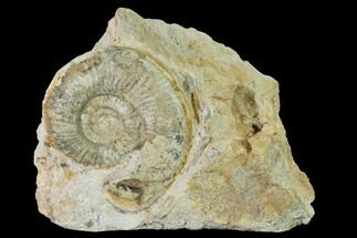 "Buy 2.6"" Bathonian Ammonite (Perisphinctes) Fossil - France - #152737"