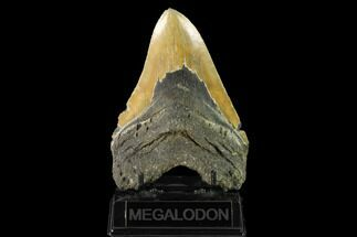 Carcharocles megalodon - Fossils For Sale - #147504