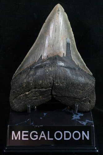 "Nice 4.90"" Megalodon Tooth - South Carolina"