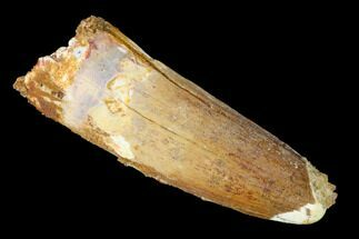 "2.35"" Spinosaurus Tooth - Real Dinosaur Tooth For Sale, #153428"