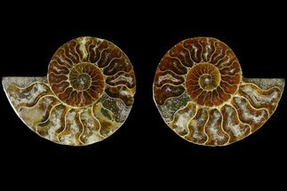 Cleoniceras - Fossils For Sale - #145914