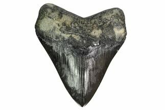 "Buy 4.2"" Fossil Megalodon Tooth - Georgia - #151525"