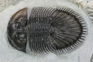 "2"" Thysanopeltis Trilobite - Issoumour, Morocco For Sale, #153971"