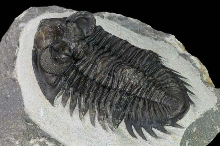 "2.4"" Coltraneia Trilobite Fossil - Huge Faceted Eyes"