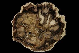 "Buy 9.5"" Petrified Black Ash (Fraxinus) Round - McDermitt, Oregon - #125686"