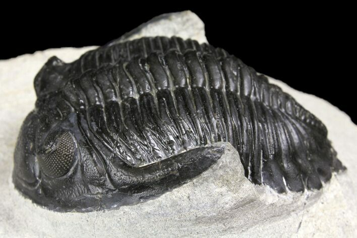 "2.4"" Detailed Hollardops Trilobite - Visible Eye Facets"