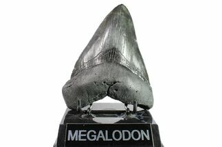 Carcharocles megalodon - Fossils For Sale - #153873