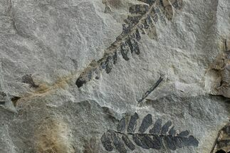 Neuropteris sp. - Fossils For Sale - #154668