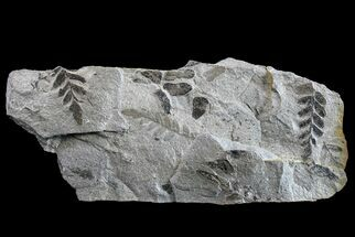 Neuropteris sp. - Fossils For Sale - #154674