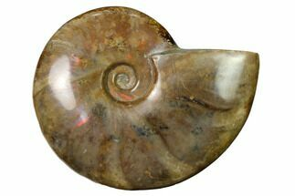 "4.3"" Flashy Red Iridescent Ammonite For Sale, #155189"