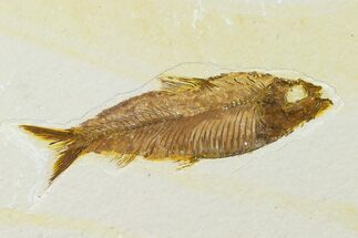 "4.1"" Detailed Fossil Fish (Knightia) - Wyoming For Sale, #155489"
