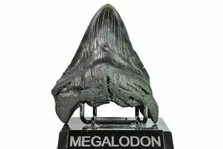 Carcharocles megalodon - Fossils For Sale - #151572