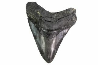 "Buy 4.37"" Fossil Megalodon Tooth - South Carolina - #151810"