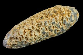 "2.2"" Agatized Seed Cone (Or Aggregate Fruit) - Morocco For Sale, #155105"