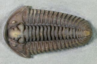"Buy Massive, 2 1/2"" Flexicalymene Trilobite - Richwood, Kentucky - #156520"