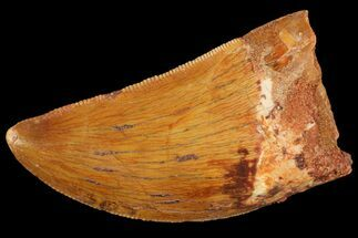 "Buy 1.39"" Serrated, Carcharodontosaurus Tooth - Real Dinosaur Tooth - #156628"