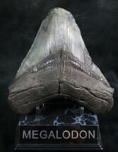 Carcharocles megalodon - Fossils For Sale - #7476