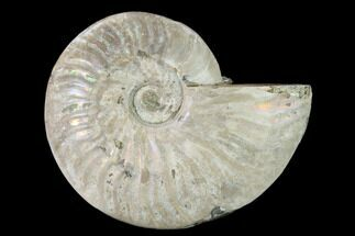 "4.8"" Silver Iridescent Ammonite (Cleoniceras) Fossil - Madagascar For Sale, #157157"