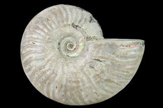 "Buy 4.9"" Silver Iridescent Ammonite (Cleoniceras) Fossil - Madagascar - #157159"