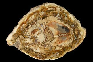 "7.2"" Petrified Wood (Araucaria) Round - Madagascar  For Sale, #157733"