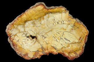 "5.6"" Petrified Wood (Araucaria) Slab - Madagascar  For Sale, #157835"