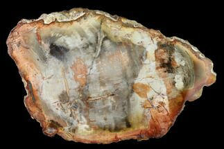 "Buy 5.8"" Petrified Wood (Araucaria) Slab - Madagascar  - #157861"