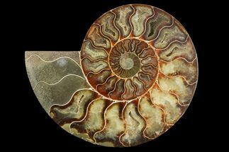Cleoniceras - Fossils For Sale - #158016