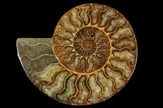 Cleoniceras - Fossils For Sale - #158025