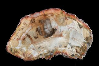 "7"" Petrified Wood (Araucaria) Round - Madagascar  For Sale, #157748"