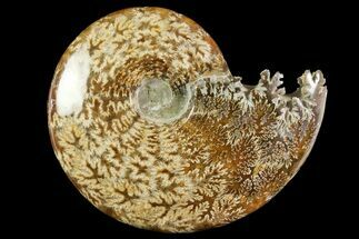 "Buy 5.3"" Polished Ammonite (Cleoniceras) Fossil - Madagascar - #158254"