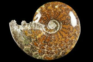 "5.55"" Polished Ammonite (Cleoniceras) Fossil - Madagascar For Sale, #158264"
